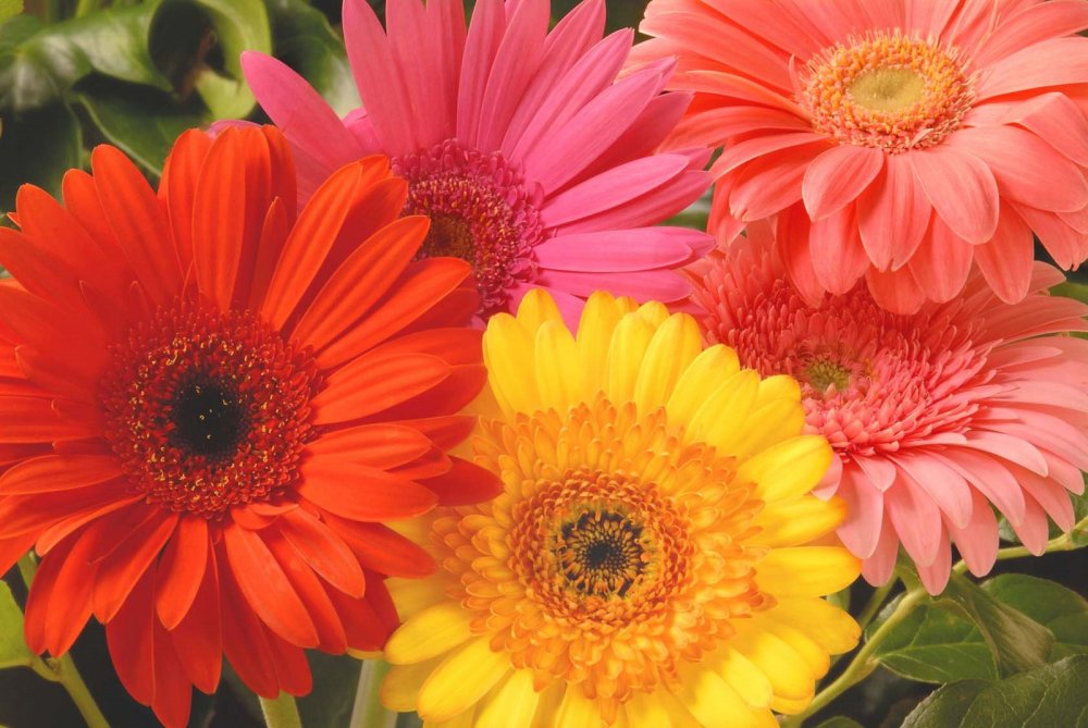 Gerber-Daisy-Flowers